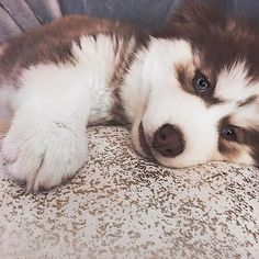 For all the cutest huskies on Instagram follow the #1 husky account @husky.heaven 💙 ❄@husky.heaven ❄
