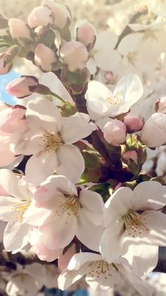 Video was created by Vienna artist Amira Wallpaper Nature Flowers, Plant Wallpaper, Flowers Nature, Flower Wallpaper, Cherry Blossom Wallpaper, Sakura Cherry Blossom, Blossom Flower, Cherry Blossoms, Sky Aesthetic