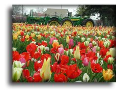 Veldheer Tulip Gardens, De Klomp Wooden Shoe & Delftware Factory and Veldheer Bison Ranch -> Where the flowers bloom and the buffalo roam. 4 Miles North of Holland Michigan on U.S. 31 -> 12755 Quincy St., Holland, Michigan 49424 U. S. A. -  616-399-1900
