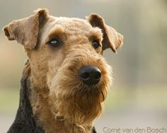 Airedale Terrier photos and wallpapers. The beautiful Airedale Terrier pictures. Welch Terrier, I Love Dogs, Cute Dogs, Wire Fox Terrier, Fox Terriers, Airedale Terrier, Terrier Dogs, Large Dog Breeds, Beautiful Dogs