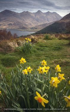Daffodils at Five Sisters of Kintail, Scotland