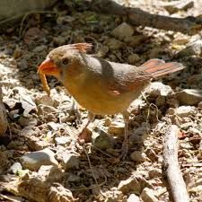 """Pyrrhuloxia-- These birds are sometimes called """"Desert Cardinals"""" Their song is similar to a Cardinal's song, with loud, rich whistles. Pyrrhuloxia do not migrate, but they will form flocks in the winter. The rest of the year, they can be found in small groups. They usually remain close to cover as they forage on the ground and scratch in the leaf litter looking for seeds and insects."""