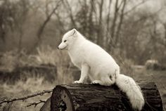 arctic fox - why can't he come live with me??