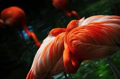 "Being Flamboyant means being colorful and vibrant. It only makes sense then that a group of Flamingos would go by this name (among other names like a ""flock"" or a ""pat""). Flamingos are vibrantly pi…"