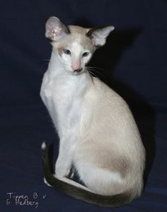 Seychellois cat, maybe I'd get one of these too!