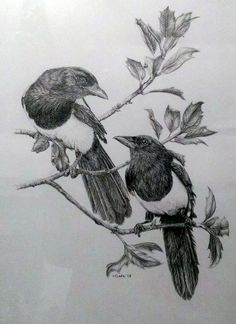 'Two for Joy' by Imogen Clark. Graphite on heavy texture. Two magpies in holly. 16x12