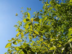 Leaves on Tree Over Blue Sky - free download on MMT