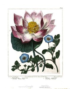 Chinese water lily and trailing nolana. New Flora Britannica, illustrated by Sydenham Edwards.