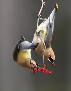 Cedar Waxwings flock to where ever the berries are.