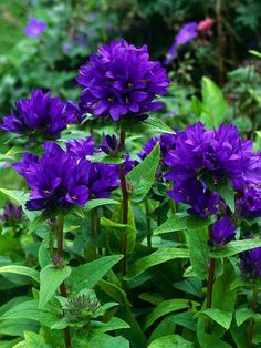 BELLFLOWER - Cluster Bellflower Bears Deep Purple Blooms These can be invasive! But I love them anyway. SS