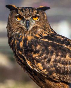 Eagle Owl. Eurasian Eagle Owl. Bird of Prey by CosmosCoolSupplies