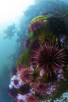 Sea Urchins Photograph