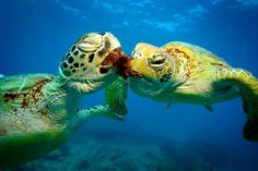 #australia #water #queensland#greatbarrierreef #turtle #fish #coast #beautiful #view #lovely #movement #waterworld #world #tour #likes4likes #pic #picture #photo #photographylovers #likes4likes #likeforlike #feeling #like4like #likeforlike #l4l #likes #likesforlikes #likes4likes #instagood #instadaily #instalike #instanature by lovetotravelwithari http://ift.tt/1UokkV2