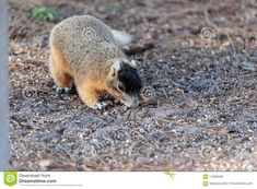 Eastern Fox Squirrel Sciurus Niger R Stock Image - Image of thief, florida: 110583483