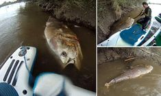 Giant 7ft tuna fish spotted in a British river 30 miles from the sea is so big its finders first thought it was a cow    Read more: http://www.dailymail.co.uk/news/article-3808321/Giant-7ft-tuna-fish-spotted-British-river-30-miles-sea-big-finders-thought-cow.html#ixzz4LXa1zVz1  Follow us: @MailOnline on Twitter | DailyMail on Facebook