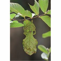 animal photography- Leaf insect