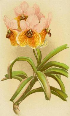 Biomedical Ephemera, or: A Frog for Your Boils — Vanda sanderiana [Euanthe sanderiana] -...