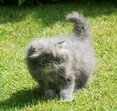 Blue tabby persian | Stunning Blue Tabby Persian Male Kitten ** | Middlesbrough, North ...