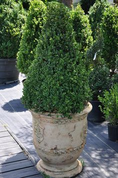 Pot with boxwood on decks