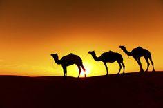 Camel train Silhouette on the Dunes of the Thar Deser