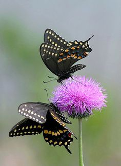 "beauty-rendezvous: "" Black Swallowtail by Ken Slade "" ♥ Flying Flowers, Butterflies Flying, Butterfly Kisses, Butterfly Flowers, Butterfly Wings, Beautiful Bugs, Beautiful Butterflies, Moth Caterpillar, Flying Insects"