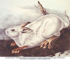 Northern Hare (Winter) - John James Audubon