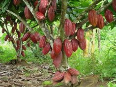 Ecuador the Producer of cacao! Now have the class learn a little bit… Theobroma Cacao, History Of Chocolate, Christmas Eve Traditions, Cacao Chocolate, Quito Ecuador, Cocoa Nibs, Equador, Old Trees, Fruit Plants