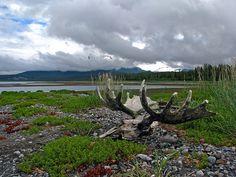 Moose Skull in Glacier Bay by jpmckenna - Back from Central...