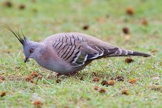 Crested+Pigeon