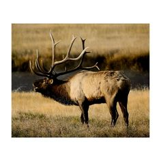 Online Shopping for Home Decor, Apparel, Quilting & Designer Fabric Elk Pictures, Hunting Pictures, Elk Hunting, Archery Hunting, Majestic Animals, Animals Beautiful, Elk Skull, Log Cabin Quilt Pattern, Bull Elk
