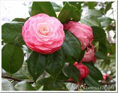 Good post on all the different types of camelias to plant. Wish they'd grow in my zone. So pretty!