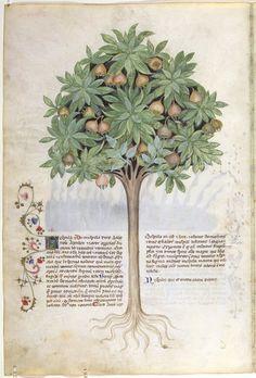Nespolo. Dal codice Historia Plantarum (o Tacuinun sanitatis), della Biblioteca Casanatense di Roma (ms. 459) - Lombardia, fine del XIV secolo