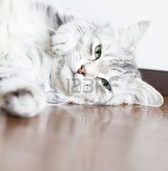 Endomass #1 Nuova Foto Royalty Free, Immagini, Immagini E Archivi Fotografici @123rf  #cat #kitten #pet #animal #cute #gatos #little #feline #puppy #siberian #meow #cuddling