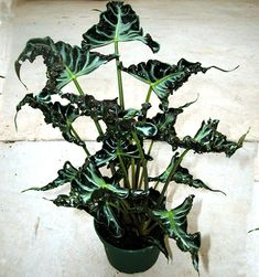 Best Garden Decorations Tips and Tricks You Need to Know - Modern Rare Plants, Exotic Plants, Tropical Plants, Beautiful Flower Arrangements, Beautiful Flowers, Alocasia Plant, Plants Are Friends, Foliage Plants, Flowers Nature