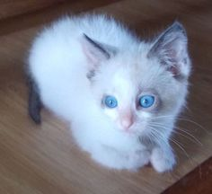 Squirt is an adoptable Ragdoll Cat in Pickerington, OH Squirt is 6 weeks old and so sweet and playful!  She loves to play with cats or dogs and l ... ...Read more about me on @Petfinder.com.com Ok... SOOO, this is a super cute kitty, 2! Have a feeling... This is going 2B a fun time! :-) Nothing cures the blues like Lil kittens or cute Lil pups.. Except, well a really nice, cute, hot guy@your side... & I don't hv 1 of those!! Damn. At least animals never talk back or are unkind :-)