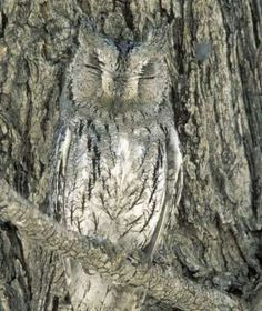 Hoo can spot this master of camouflage? The Scops owl is a grayish bird that is almost indistinguish... - Thomas Dressler