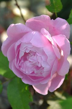 Rosa 'Mary Rose' (U.K., 1983). Named for a ship of Henry VIII's raised in 1983 from the Thames.