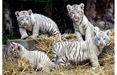 The four white Bengal tigers born in captivity on January 2013 at the Buenos Aires zoo, play during their presentation on March Their parents are white Bengal tigers Cleo and Rhiano, a young couple living at this zoo. Baby White Tiger, White Tiger Cubs, White Bengal Tiger, White Tigers, Baby Zoo, Cheetahs, Majestic Animals, Animals Beautiful, Beautiful Eyes