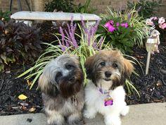 Our Havanese Sisters - Sammi and Jazzie  💞