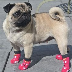 Pug in socks. Of course.