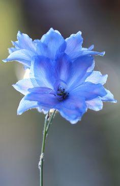 """Blue Delphinium"" by Karen Zack"