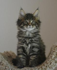 Maine coon for sale wi