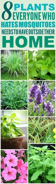 These 8 Amazing Mosquito Repelling Plants are THE BEST! I'm so happy I found these GREAT plant ideas! Now I have a great way to keep myself from getting bitten from mosquitoes! Definitely pinning!