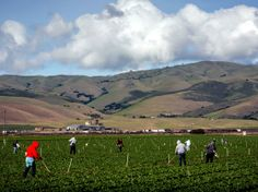Farmworkers pull weeds from a field of lettuce near Gonzales, Calif. Salinas Valley farms like this one rely on wells, which haven't been af...