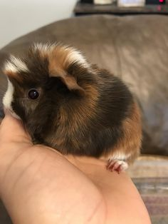 http://ift.tt/2s2HvhV week old guinea pig