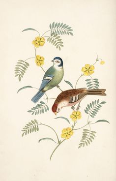 Decorative Arts: Six birds, accurately drawn and coloured after nature, with full instructions for the young artist : intended as a companion to the treatise on flower painting: The tom-tit and red pole