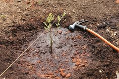 We LOVE blueberries! Here's a step-by-step tutorial on planting blueberry bushes. Learn how to plant blueberries the right way to start them off right! Planting Blueberry Bushes, Fruit Bushes, Fruit Plants, Fruit Garden, Fruit Trees, Blueberry Tree, Growing Blueberries, Sensory Garden, Outdoor Buildings