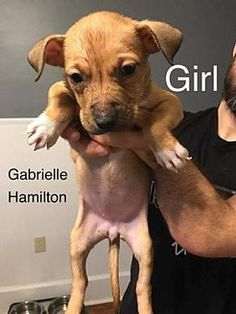 Pictures of Gabrielle Hamilton a Pit Bull Terrier for adoption in St. Louis, MO who needs a loving home.