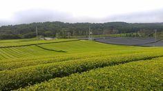 Seogwang tea farm, Jeju, Korea