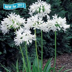 Agapanthus africanus Getty White
